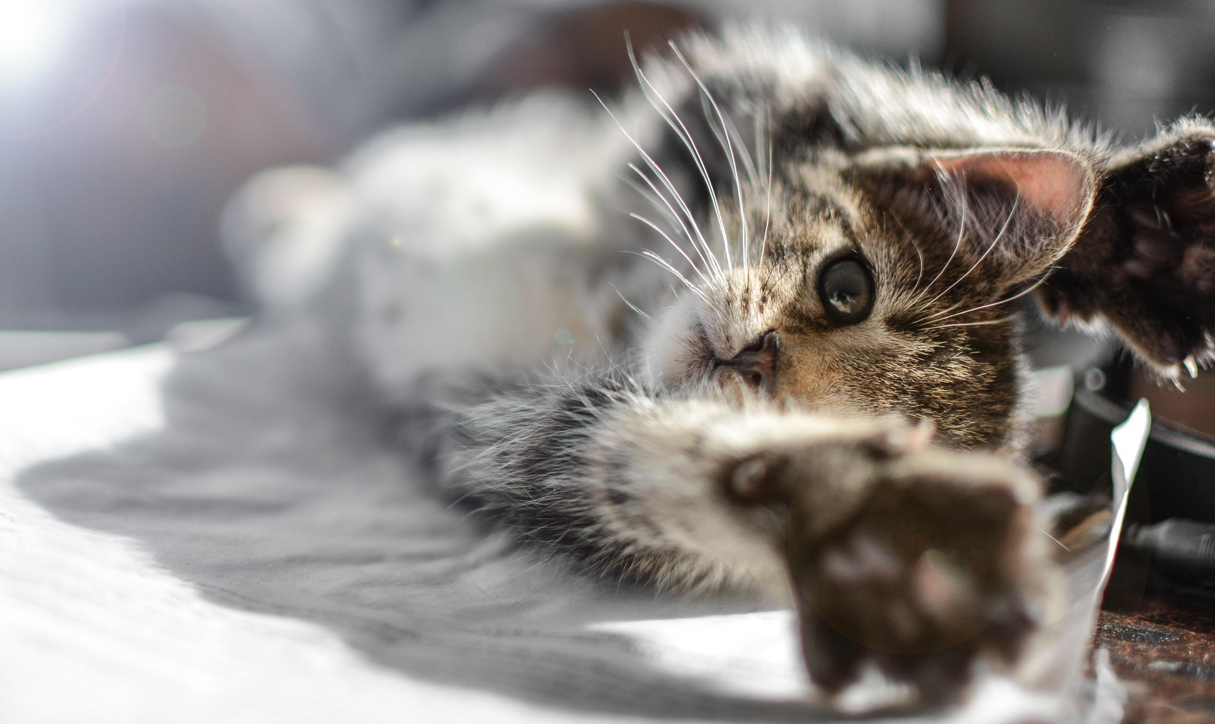 Comment brosser les dents du chat ?