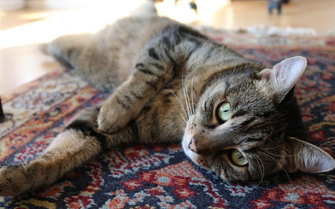 Hoe lang kan een kat gaan zonder te poepen?
