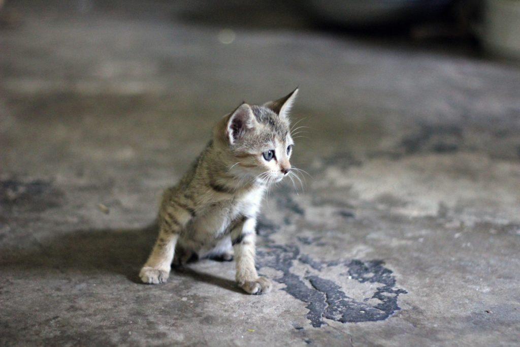 Comment nourrir un chaton de 2 semaines ?