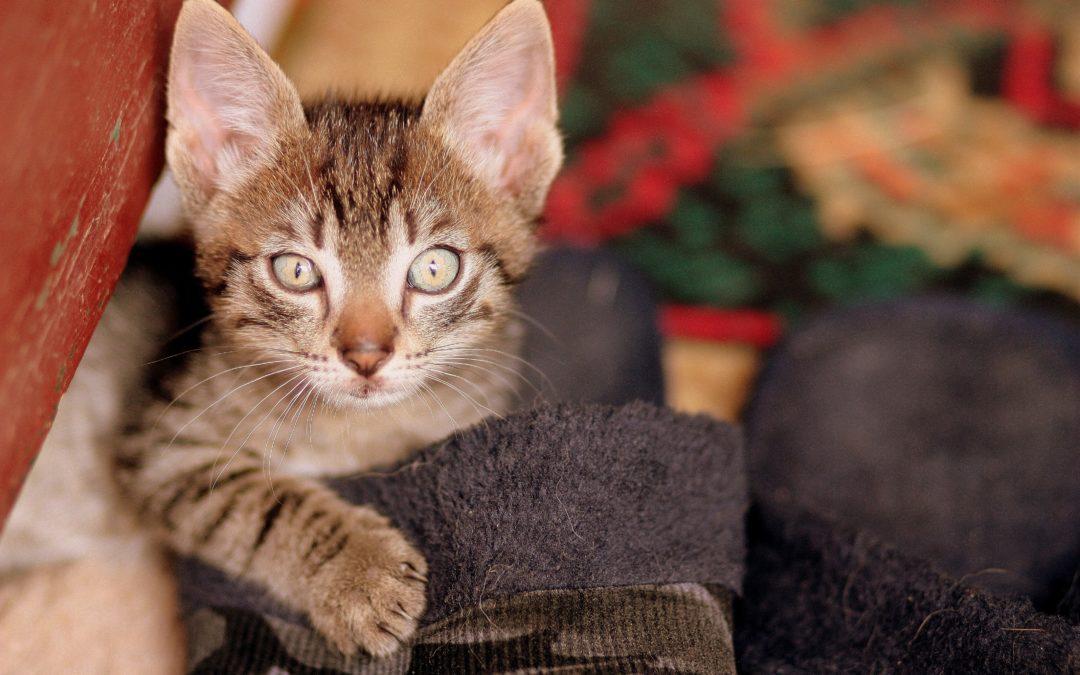 Alimentation chaton 3 mois – Comment savoir si un chaton est bien nourri ?