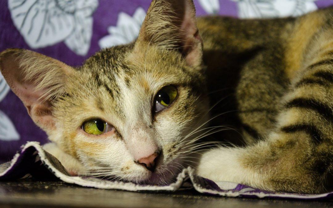 Comment savoir si un chat a de la fièvre ?