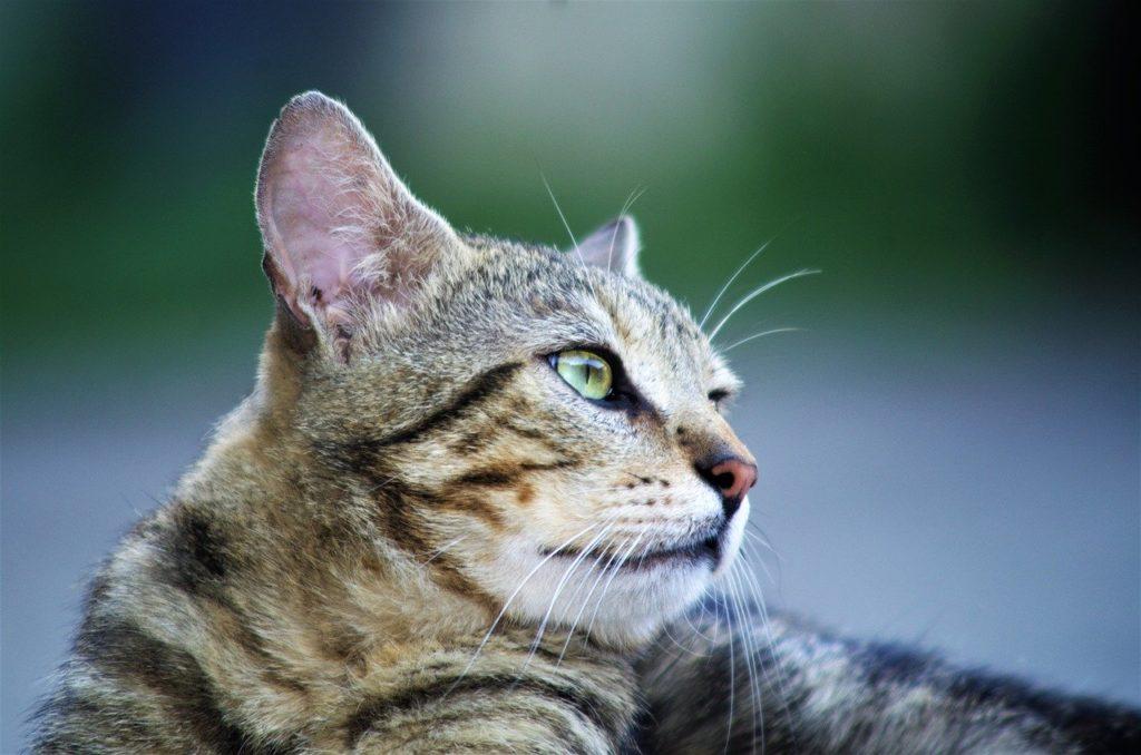Mon chat est il sourd ?