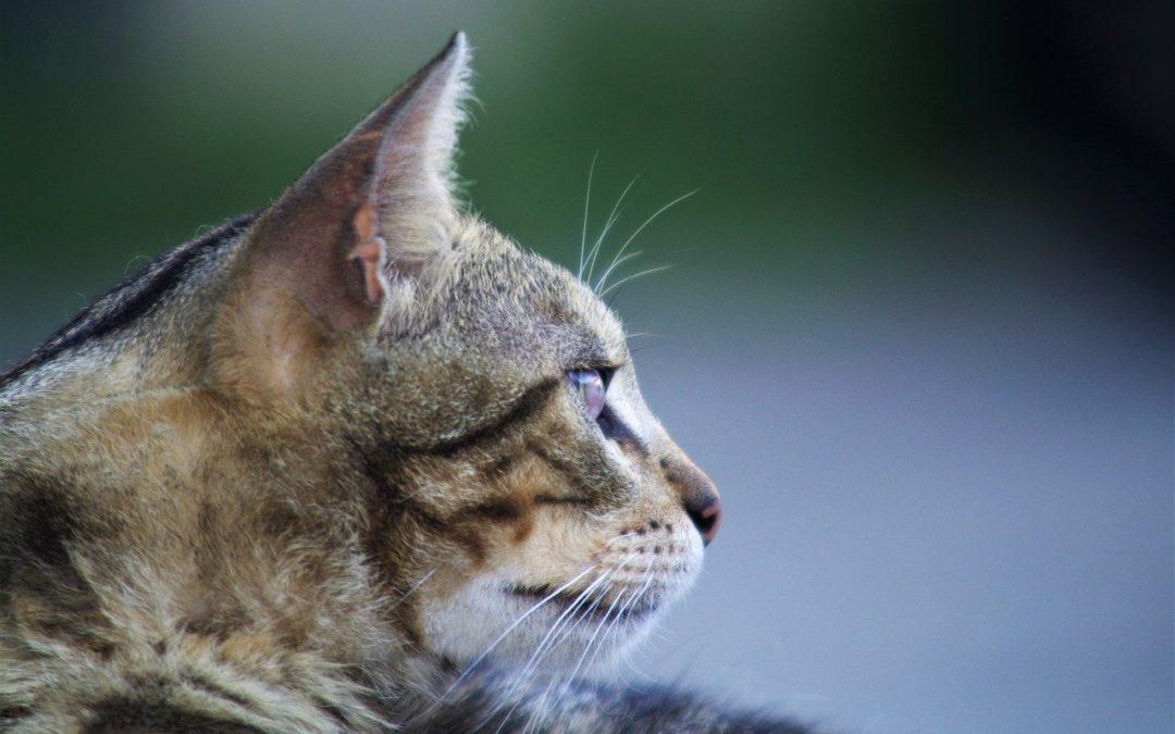 如何分辨猫是否聋