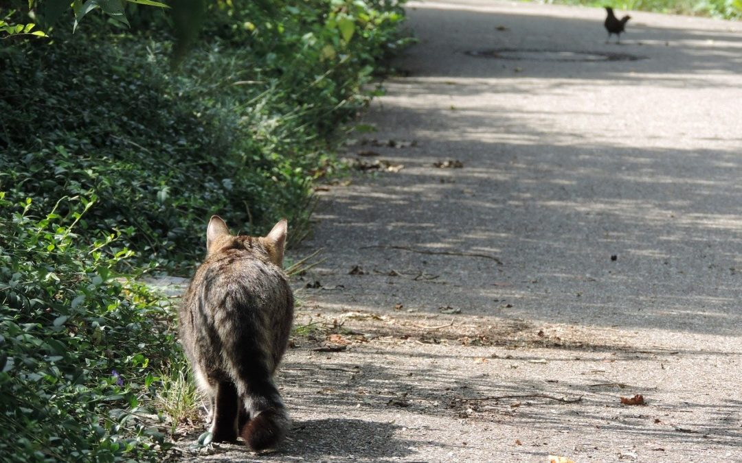 How long can a cat run away?