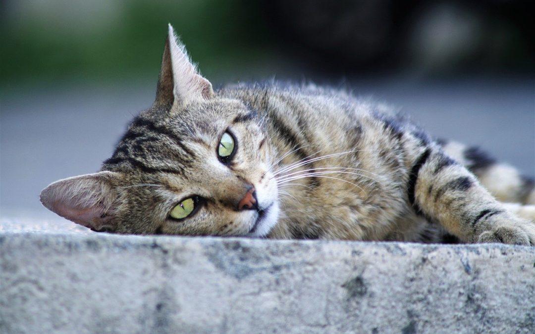 Comment reconnaitre un chat male ou femelle adulte
