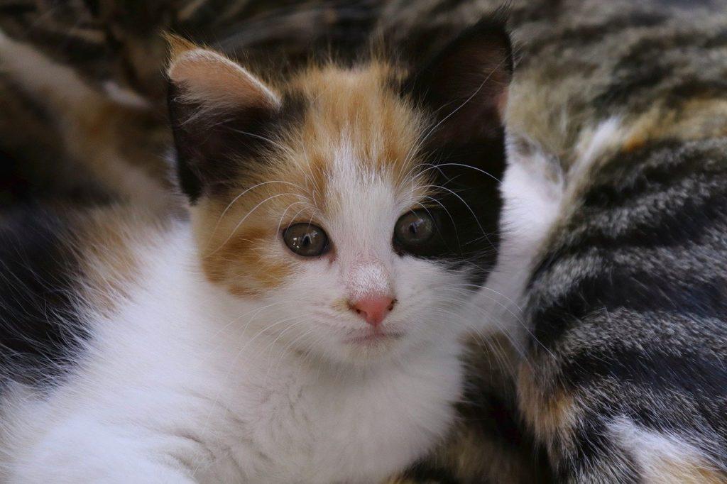 comment savoir si chaton male ou femelle