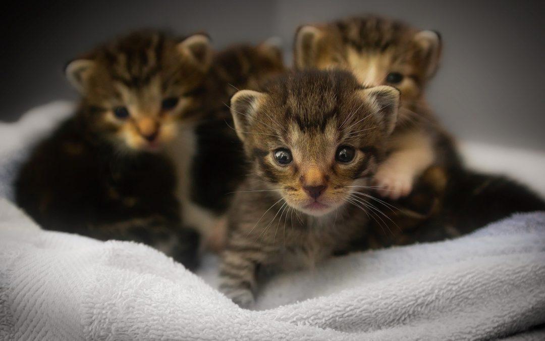 Comment reconnaître un chaton mâle ou femelle