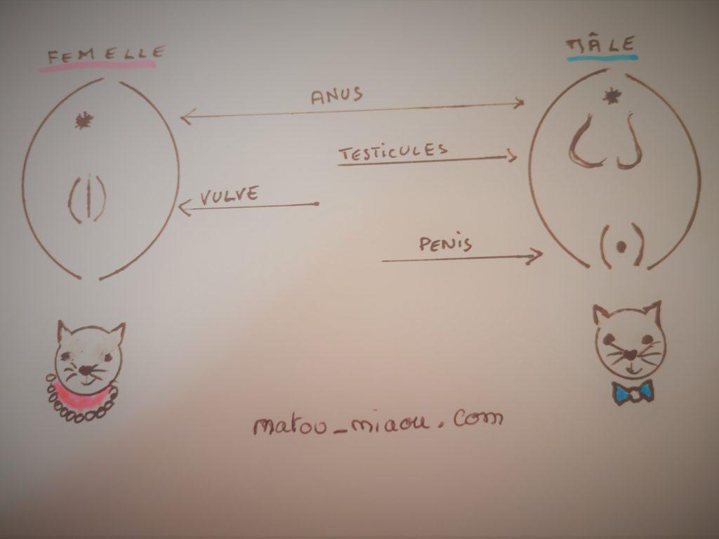 schéma pour reconnaitre si un chat est male adulte ou femelle