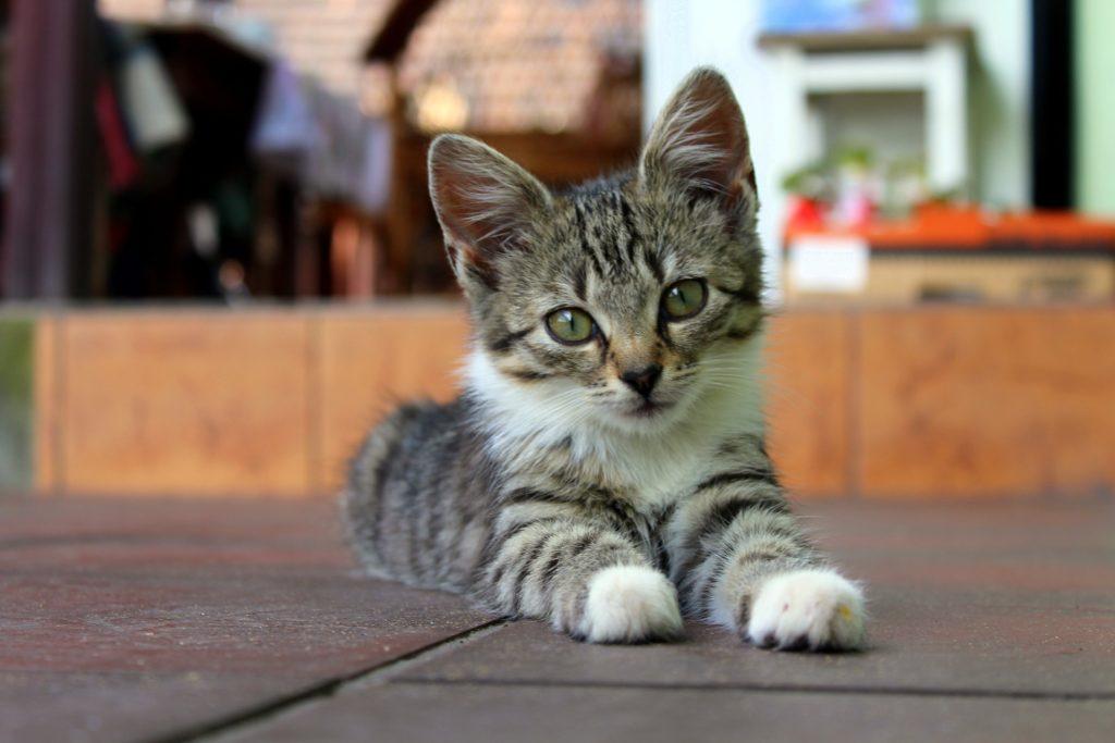 suivre la croissance d'un chaton