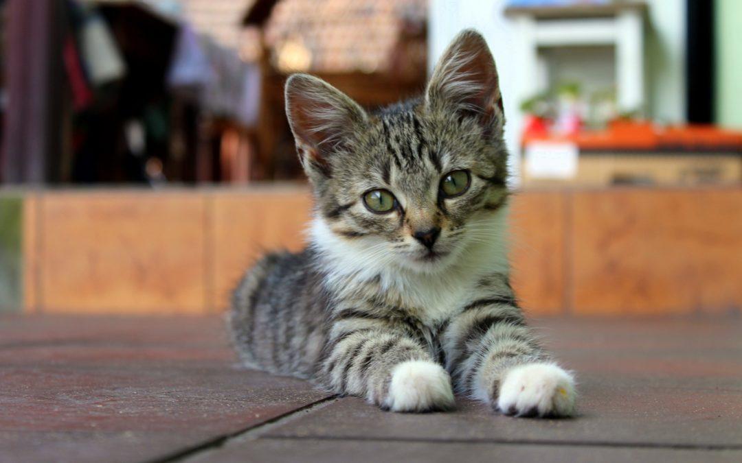 ¿A qué edad se debe esterilizar una gatita?