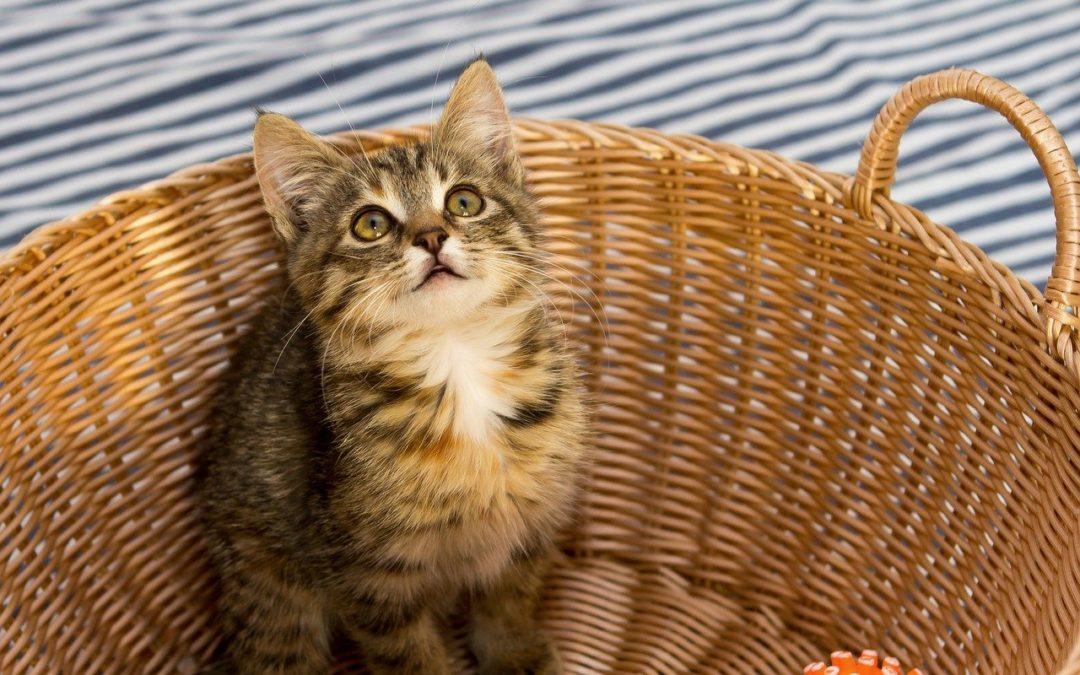 Gewicht van het kitten