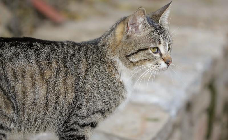 Katten die vaak overgeven - Wanneer moet u zich zorgen maken over katten?