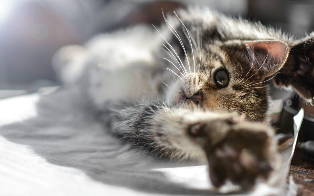 Kitten die agressief wordt - Hoe een kitten die aanvalt, straffen?