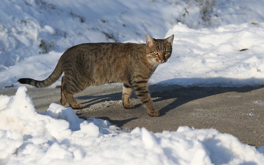 Kan een kat doodvriezen? Gevaar voor katten buiten in de winter
