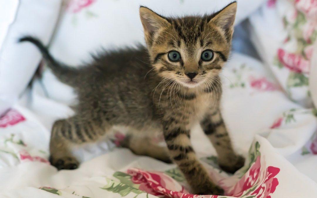Kitten die 's nachts huilt - Hoe een kitten in slaap te brengen?