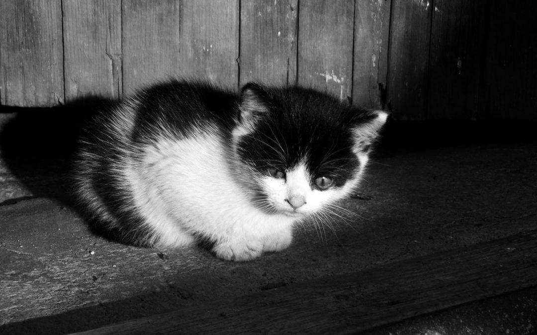 我的小猫没有进食-不吃东西他能走多久