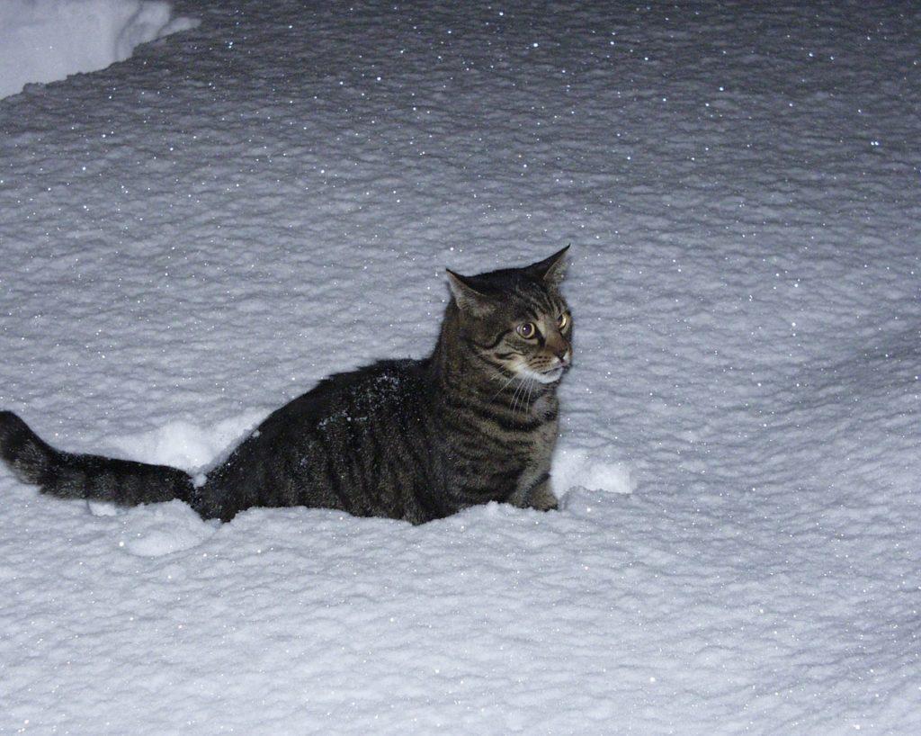 Un chat peut il mourir de froid ?