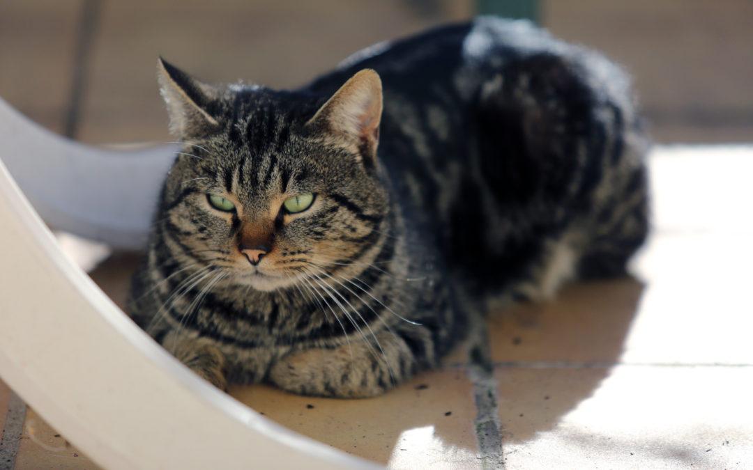 Zwaarlijvige kat vanaf welk gewicht? Is mijn kat te groot?