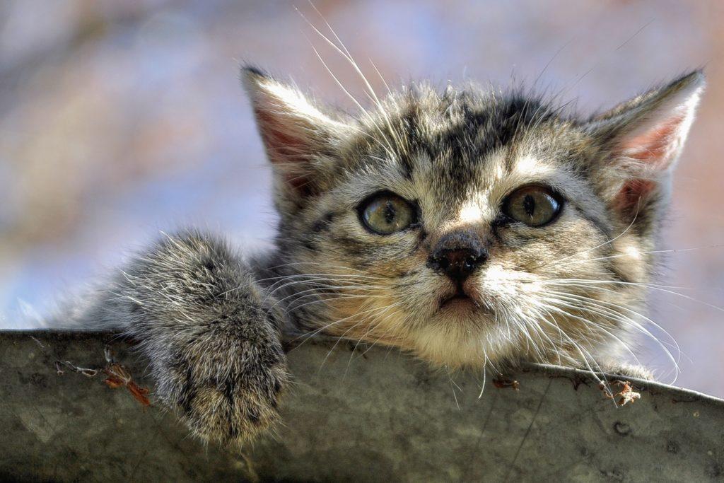 Quand faire stériliser une chatte ?