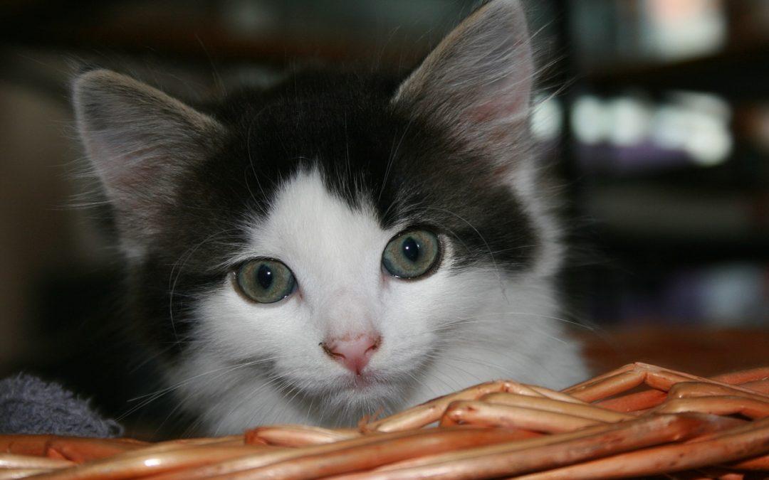 Com que idade um gatinho deve ser tratado para pulgas?