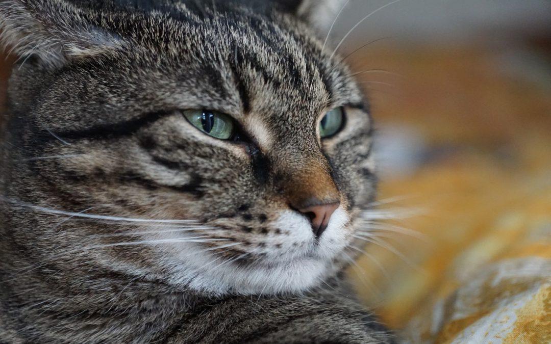 Mijn kat is te dik - Beste dieet voor katten met overgewicht