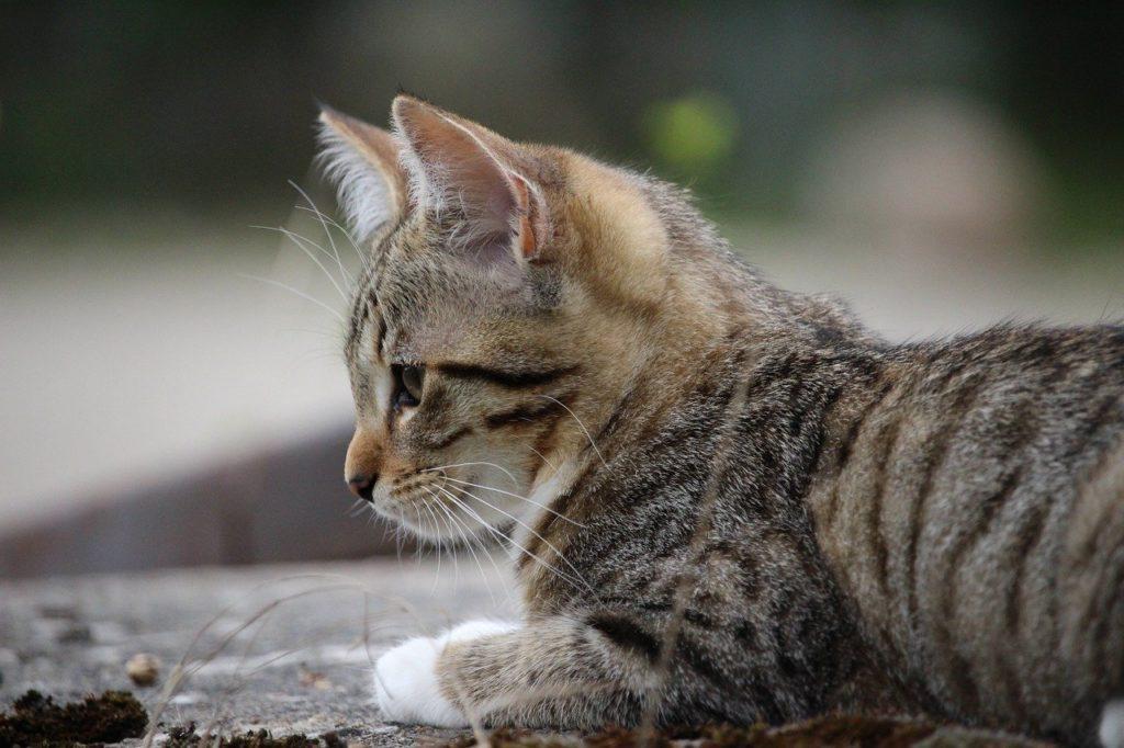 Harnais ou collier pour un chat de 6 mois