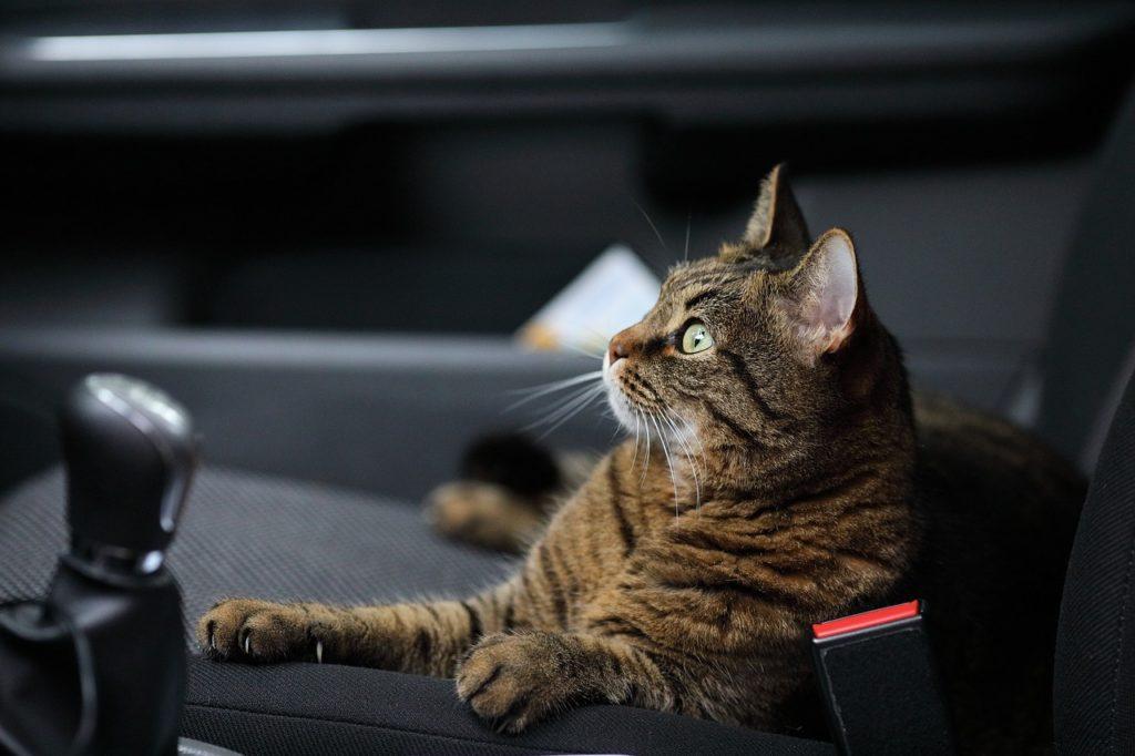 Combien de temps un chat peut se retenir d'uriner en voiture