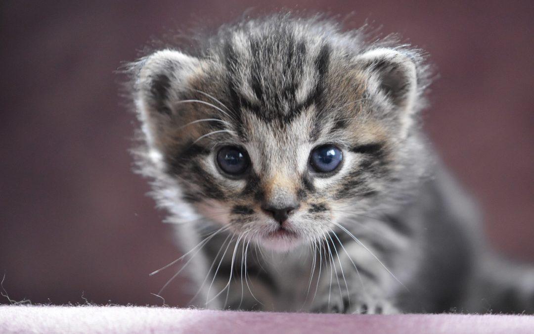 Fatal Kitten Disease - How Do You Know If A Kitten Is Sick?