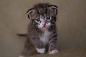 Maladies mortelles du chaton nouveau né à surveiller