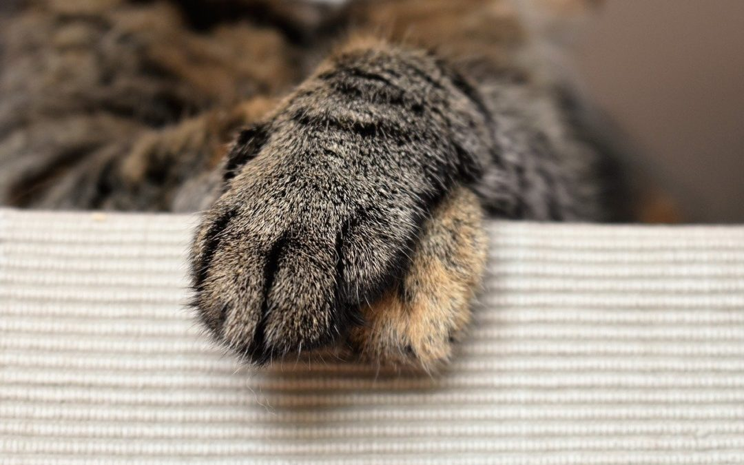 Cat with a limp foreleg - How to treat a cat who limps?