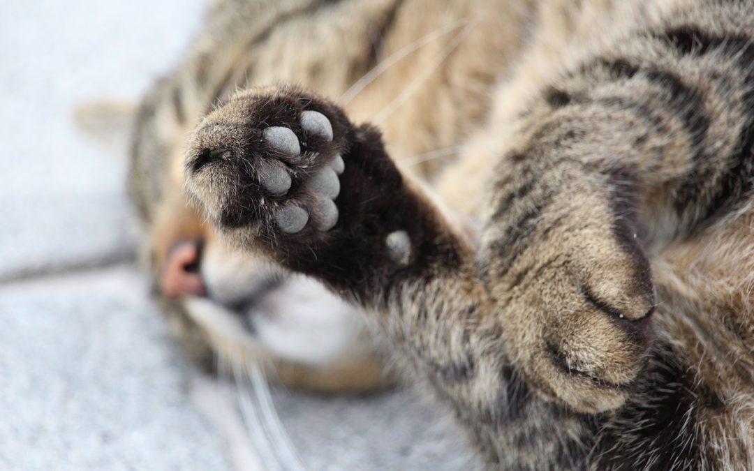 My cat is limping but I can't see anything - Cat paw broken or sprained?