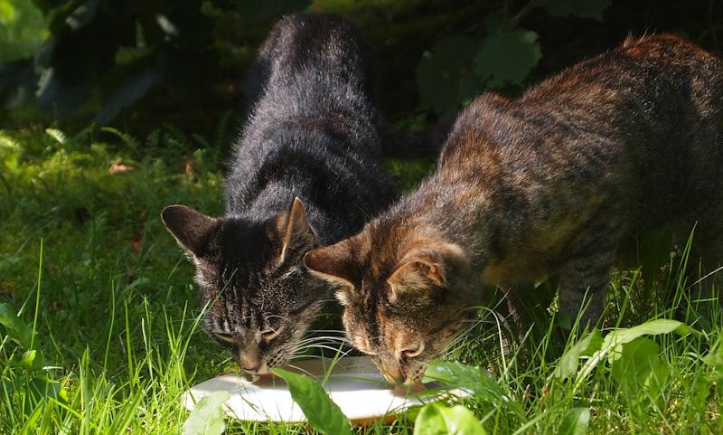 Podemos dar leite a um gato adulto?